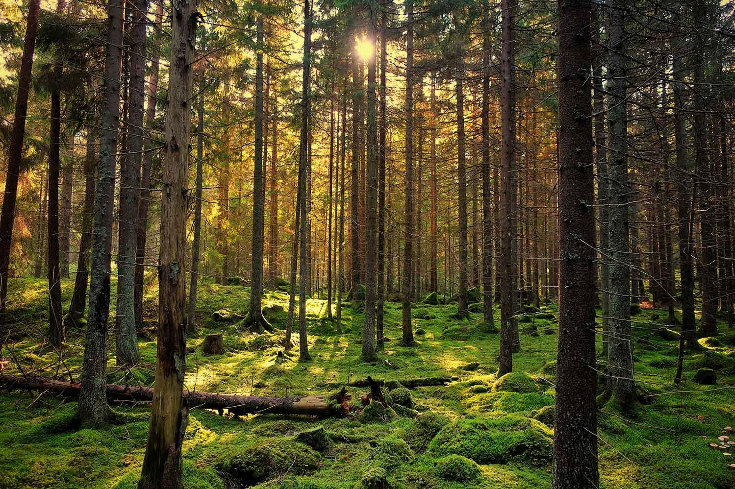 Skogsmiljö